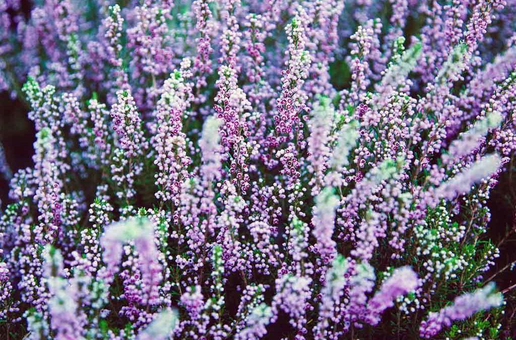 Les plantes dîtes «Terre de Bruyère»